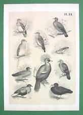 BIRDS Doves Pigeons Bronze Wing - Antique Litho Print