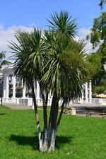 exotische Blüten Rarität Saatgut seltene Garten Balkon Pflanze KEULENLILIE