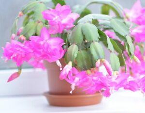 1x bouture SCHLUMBERGERA Christmas plant cactus noel succulent varietaga caudex