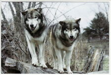 Postcard of 2 Wolves on Hollow Log Close View