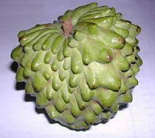 "Atemoya Fruit Tree - 1 Starter Plant - 8"" to 1 Feet Tall - Ship in 1 Gal Pot"