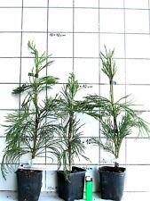 Küstenmammutbaum Sequoia sempervirens Mammutbaum Pflanze 20cm Küsten-Sequoie