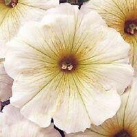 50 Pelleted Petunia Seeds Carpet Butter Cream FLOWER SEEDS