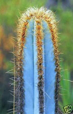 * Pilosocereus purpureus Exotic Blue Color aloe rare cacti cactus seed 100 Seeds