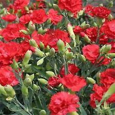 CARNATION FLOWER SEEDS - SCARLET RED - BULK - C