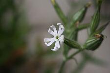 Sticky Catchfly Wild Flower Plants Silene noctiflora Native Woodland Plant White