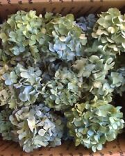 Dried Hydrangea Flowers Lt. Blue, Cream, And Green