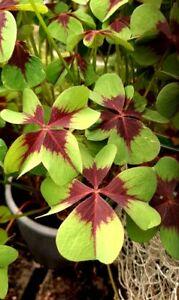 Trebol 4 hojas auténtico  trébol de la suerte Oxalis deppei flores jardín bulbos