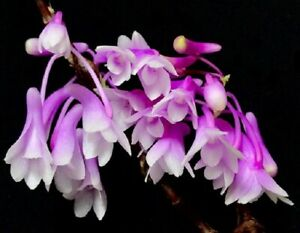 Orchid Dendrobium rindjaniense Species