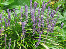 Liriope muscari 'Majestic' 25 Plants in 3-1/2 inch Pots Free Shipping