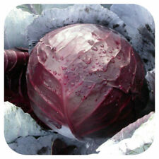 Vegetable - Cabbage Red Rodeo F1 - 10 Seeds - First Class