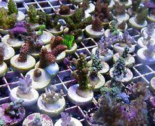 Live Coral: 9 for $230 SPS Frag Pack Is Back! Acropora, Montipora FREE SHIP