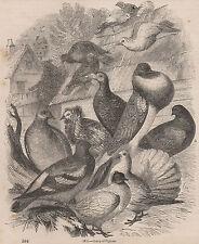 Antigüedad 1845 impresión Paloma Racing creyendo Pájaro portador cobertizo más elegante Coop un