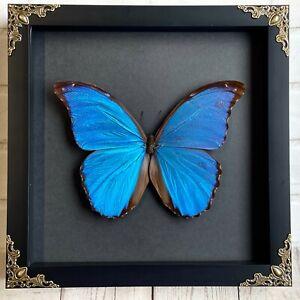 Giant Blue Morpho Butterfly (Morpho didius) Baroque Shadow Box Display Frame