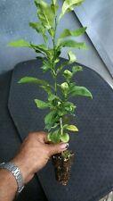 ORANGE  FRUIT TREE REAL LIVE PLANT