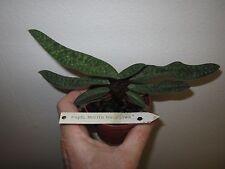 Paphiopedilum Norito Hasegawa, one plant