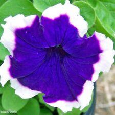 50 Petunia Hulahoop Series Blue Seeds