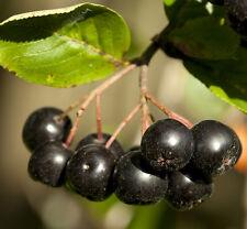 30 Samen Schwarze Apfelbeere / Eberesche (Aronia melanocarpa), gesunde Früchte