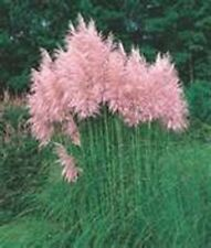 Pampas Grass- Pink- 100 Seeds- BOGO 50% off SALE