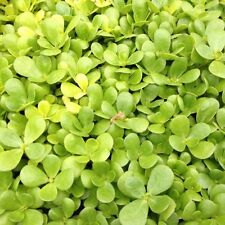 HERB  PURSLANE GOLDEN (PORTULACA OLERACEA)  1600 FINEST SEEDS ** FREE UK P&P **