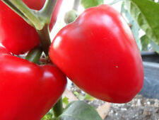 Sweet Apple pepper 30+ fresh organically grown seeds for the 2018 growing season