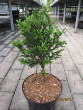 Taxus baccata Klitzeklein - Zwergeibe Klitzeklein