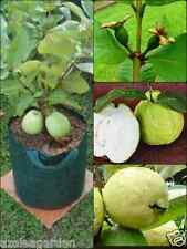 Dwarf Sweet  White Guava / Psidium guajava Fast Growing  , 40 seeds pack