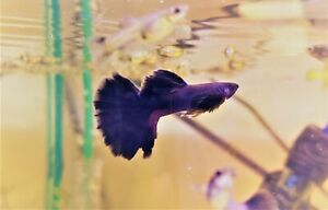 8x Dark Purple Moscow Guppy Dumbo Ear UNSEXED fry pack UK bred
