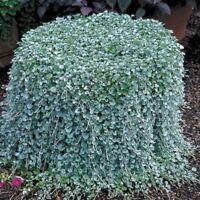 100Pcs Dichondra Repens Seeds Bonsai Silver Emerald Falls Seeds Dichondra Seeds