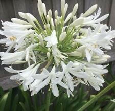 AGAPANTHUS - WHITE 12 BARE ROOTED PLANTS