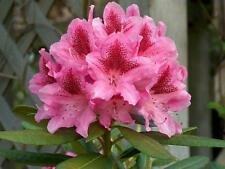 Rhododendron Cosmopolitan - #1 Container Size Plant - Hary to -10F
