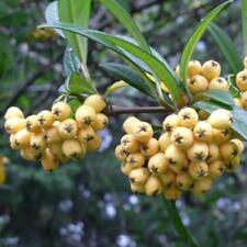Cotoneaster salicifolius 'Rothschildianus' - Evergreen Shrub in 9cm Pot
