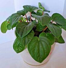 Peperomia caperata 'Lillian'-Emerald Ripple, Semi Succulent House Plant-12cm pot