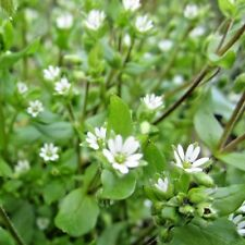 Herb Mouron Stellaria Media - 1000 graines