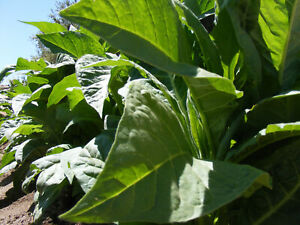Seeds Tobacco Smoking Burley Virginia West Giant Gold Big Leaf Cigar Organic