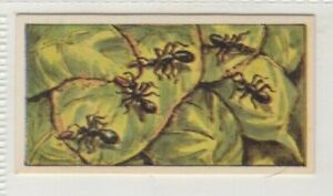 Barrett's Confectionery Mystery Card 1964. Ants use glue to bind leaves