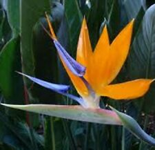 BIRD OF PARADISE Strelitzia reginae striking orange flowers plant in 200mm pot