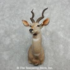 #18079 E | Lesser Kudu Taxidermy Shoulder Mount For Sale