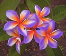 """VIOLET-FOX""FRAGRANT PLUMERIA CUTTING WITH ROOTED 7-12"" WITH CERTIFICATION"