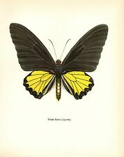 """1963 Vintage PROCHAZKA BUTTERFLY /""""SILVER WASHED FRITILLARY/"""" WOW COLOR Lithograph"""