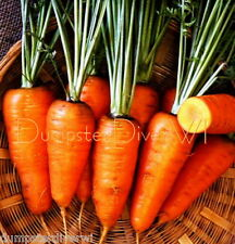 Organic Red Cored Chantenay Carrot 150+ seeds HEAVY SOIL NON-GMO Heirloom