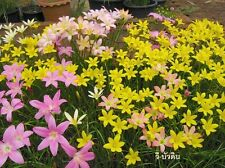 5 bulb Mix color Fairy Lily Zephyranthes Candida Rain Lily flower love surprise