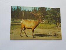 Elk Canada Postcard Vintage Unposted