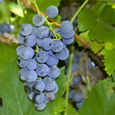 Concord grape vine purple Cuttings(12) Jellies, Jams Snacking hardy perennial