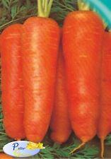 Seeds Carrot Krasavka Organically Grown Russian Heirloom Vegetable