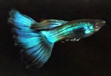 New listing 2 Pair Blue Green Moscow Guppy Fancy Guppies