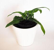 Murdannia, spektakuläre thailändische Heilpflanze, sehr blühfreudig