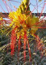 Oiseau jaune Paradis - Caesalpinia gilliesii - 12 graines frescas