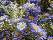 aster New England, 3 LIVE PLANTS! must ship immediately! GroCo USA