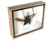 Cyrtotrachelus dux Real Butterfly Insect Bug Taxidermy Display Framed Box gpasy